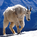 Mountain-Goat-150x150